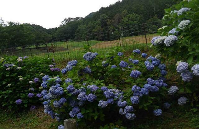 豊田市松平町赤原のあじさいを見に行きました!徳川家康が使ったとされる産湯の井戸も